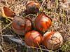 California buckeye fruit on the ground, late November.