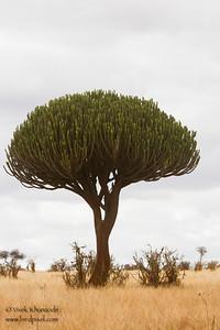 Euphorbia Cactus - Tarangire National Park, Tanzania
