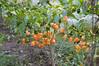 Habanero; Habanero Chili (Capsicum chinense).