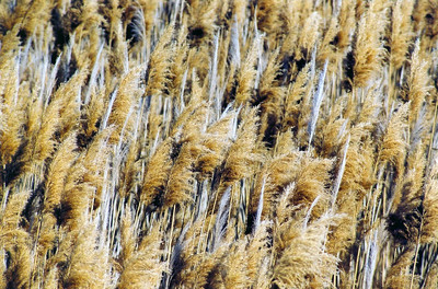 Phragmites at Utah Lake, Utah
