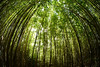 Bamboo forest. Bamboo is an evergreen in the true grass family. This variety is possibly Bambusa textilis, Maui, Hawaii, Angiosperms, Monocots,