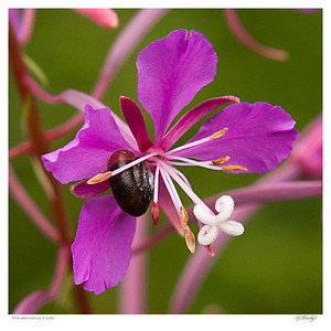 Fireweed with Snail