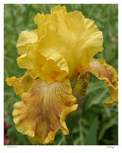 Yellow Bearded Iris