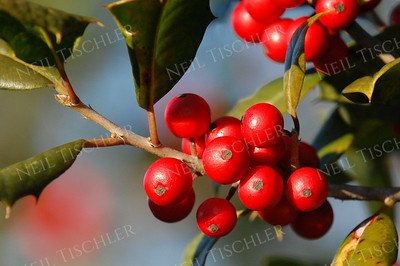 #649  Holly berries