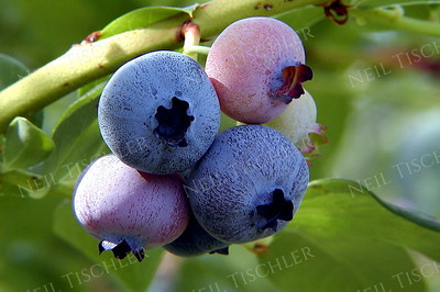 #176  A blueberry cluster on the vine