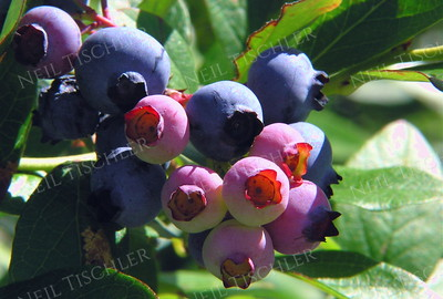 #288  A ripening blueberry cluster on the vine