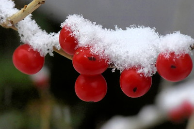 #1502  Winterberries with snow atop