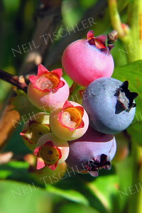 #284  A very colorful blueberry cluster, slowly ripening on the vine