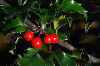 #1017  Holly berries