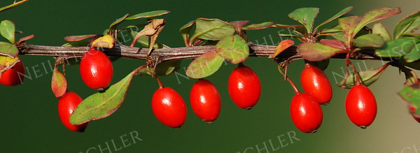 #915  Wild Rose berries.    This is a panoramic crop with a ratio of 2.75 x 1.