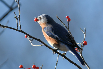 #1650  Eastern Bluebird, female,  eating winterberries    at Acton, MA  in  December 2015