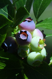 #1471  Blueberries