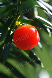 #773  A glossy, perfectly symmetric Yew berry