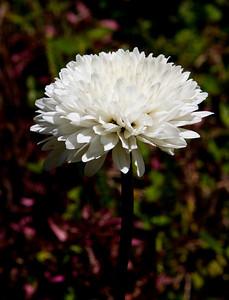 Chrysanthemum (?)