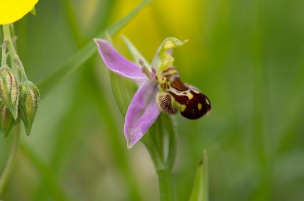 British Orchids