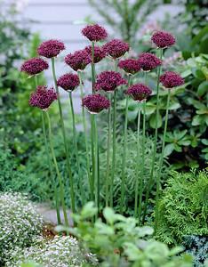 Allium atropurpureum 2