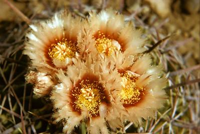 Eagle Claw Cactus, Horse Crippler Cactus (Echinocactus texensis) Big Bend National Park, TX, 1959