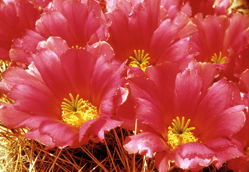 Strawberry Pitaya, Strawberry Hedgehog Cactus (Echinocereus stramineus) Big Bend National Park, TX, 1958