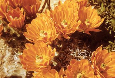 Claret Cup Cactus (Echinocereus coccineus) Big Bend National Park, TX, 1958