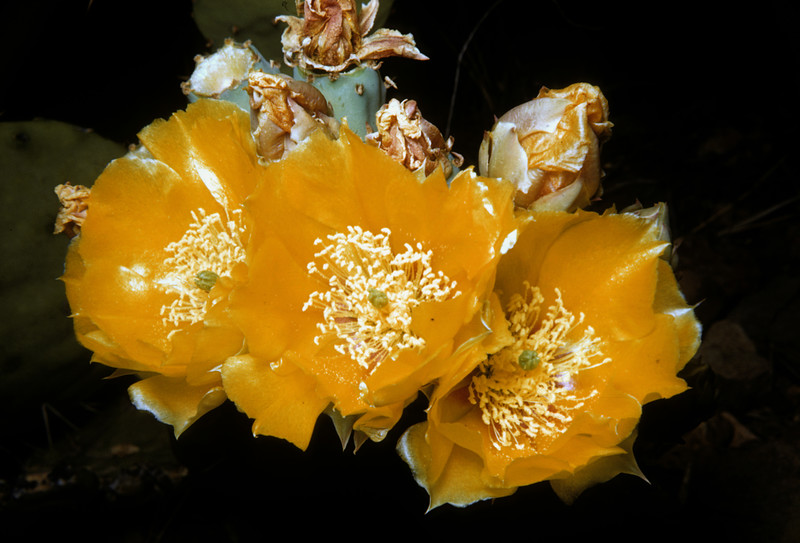 Englemann's Prickly Pear (Opuntia englemanni) Big Bend National Park, TX, 1958