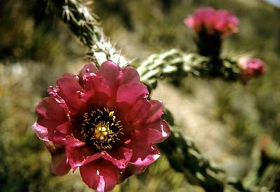 Cholla (Opuntia imbricata) Big Bend National Park, TX, 1958