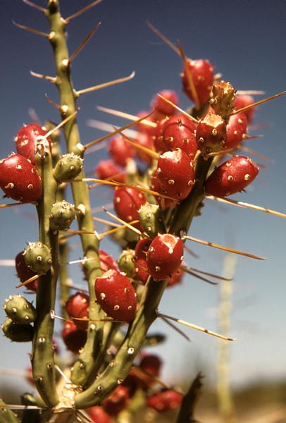 Tasajillo; Christmas Cactus (Opuntia leptocaulis) Big Bend National Park, TX, 1958