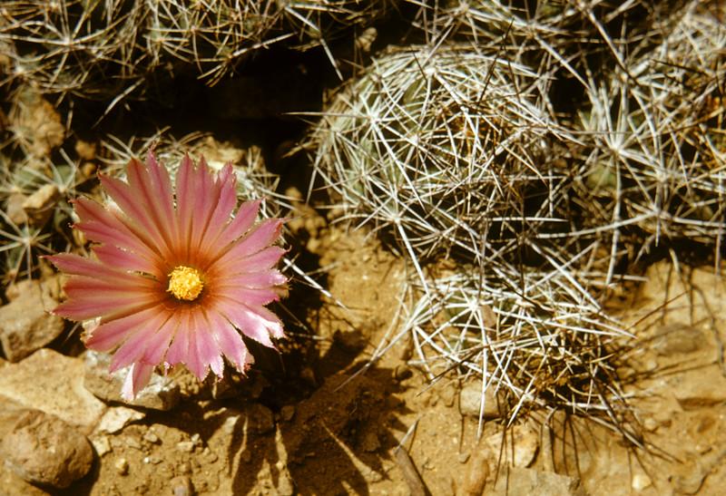 Big Needle Cactus (Coryphantha macromeris) Big Bend National Park, TX, 1958