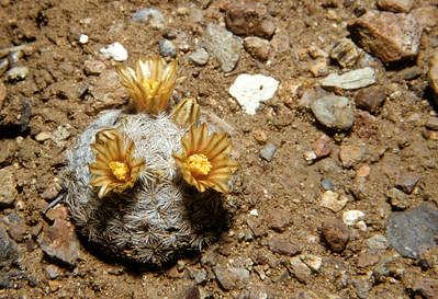 Nipple Cactus (Mammillaria meiacantha Big Bend National Park, TX, 1959