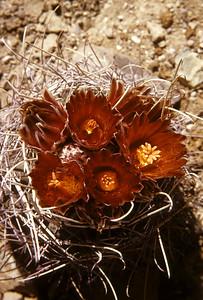 Fishhook Cactus (Glandulicactus uncinatus) Big Bend National Park, TX, 1959