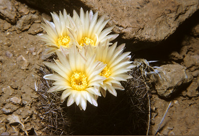 Big Bend Foxtail Cactus (Coryphantha dasyacantha) Big Bend National Park, TX, 1959