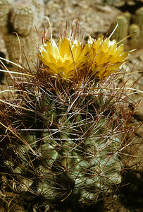 Giant Fishhook Cactus (Ferocactus hamatacanthus) Big Bend National Park, TX, 1958