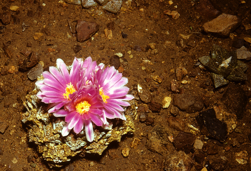 Living Rock Cactus (Ariocarpus fissuiatus) Big Bend National Park, TX, 1958