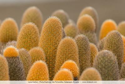 Lava Cactus - Punta Espinosa, Isla Fernandina, Galapagos, Ecuador