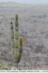 Candelabra Cactus - Punta Albemarle, Isla Isabela, Galapagos, Ecuador