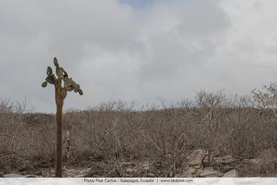 Prickly Pear Cactus - Galapagos, Ecuador