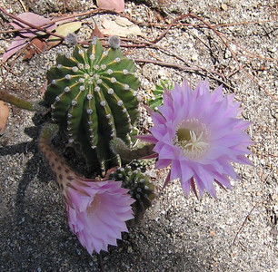 Pink Easter Lily Cactus (Echinopsis eyriesii), 5 May 2007