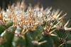 Gold Torch Cereus (<i>Echinopsis spachiana</i>), 23 Dec 2008