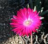 Iceplant (Lampranthus sp.), 8 Mar 2008