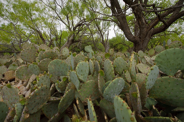 Prickly pear cactus at Stasney's Cook Ranch in Albany, Texas