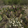 Many types of cacti grow at Stasney's Cook Ranch including prickly pear with flowers.
