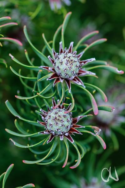 Line-leaf Sugarbush, Leucadendron linifolium, Proteaceae, Protee, Harold Porter National Botanical Garden, Botanischer Garten, Kogelberg, Western Cape, Westkap, Südafrika