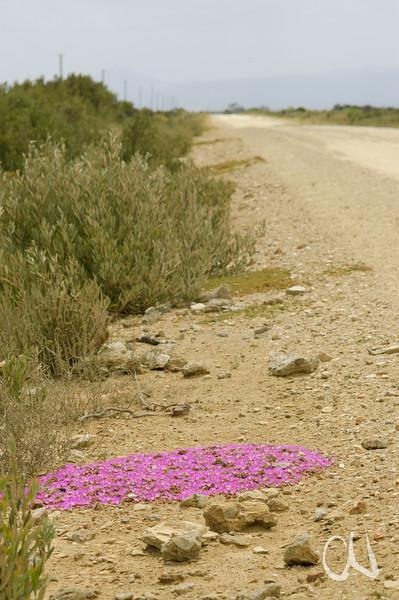 mat-forming ice plant, Mittagsblume, Disphyma dunsdonii, Cape Agulhas, Südafrika, South Africa