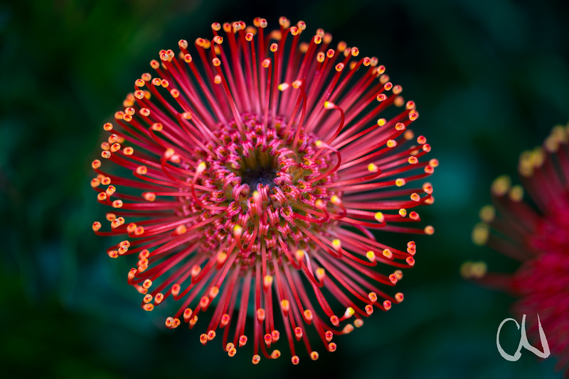 Leucospermum spec., Proteaceae, Kirstenbosch Botanical Garden, Botanischer Garten, Kapstadt, Südafrika