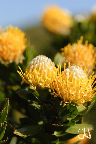 flowers, Leucospermum conocarpodendron, Proteaceae, Proteenblüten, Table Mountain National Park, Cape Peninsula, Cape of Good Hope, Kap der Guten Hoffnung, Südafrika, South Africa