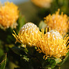 flowers, Leucospermum conocarpodendron, Proteaceae, Proteenblüten, Table Mountain National Park, Cape Peninsula, Cape of Good Hope, Kap der Guten Hoffnung, Südafrika, South Africa