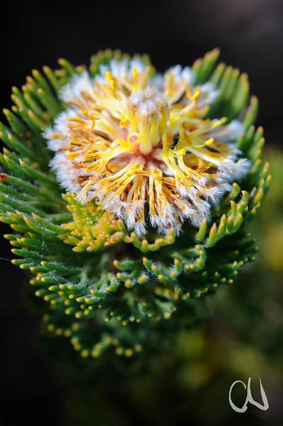 Ameise in einer Blüte der Protee Serruria villosa in den Dünen am Atlantischen Ozean, Proteaceae, Tafelberg Nationalpark, Cape of Good Hope Nature Reserve, Kap der Guten Hoffnung, Südafrika, [en] Protea flower, Table Mountain National Park, South Africa
