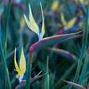 """Strelitzia reginae """"Mandela´s Gold"""", Kirstenbosch Botanical Garden, Botanischer Garten, Kapstadt, Südafrika"""