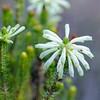 Erikablüte im südafrikanischen Fynbos, Erica sessiliflora, Grüne Erika, Green heath, Hermanus, Fernkloof Nature Reserve, Western Cape, Westkap, Südafrika