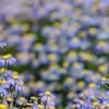 Felicia dubia, Botanischer Garten, Kirstenbosch National Botanical Garden, Cape Town, South Africa, Kapstadt, Südafrika