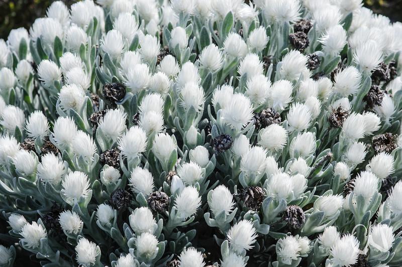 weiße Blüten des Kapschnees im Frühjahr, Syncarpha vestita, Fynbos, Sirkelsvlei, Tafelberg Nationalpark, Cape of Good Hope Nature Reserve, Südafrika, [en] Cape Snow, Table Mountain National Park, South Africa